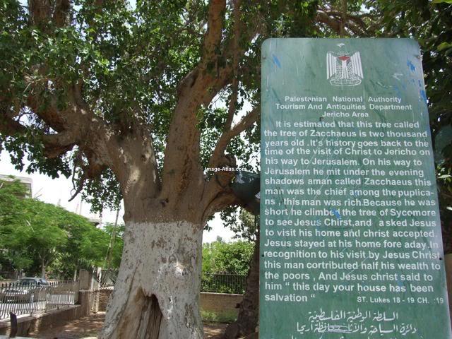 موسوعة الصور لفلسطين الحبيبة Jericho-palestinetreeofZacchaeus.4