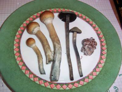 "_Ashi's ""Magic"" Mushrooms\ Three-kinds-magic-mushrooms"