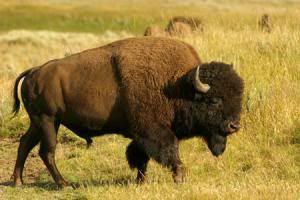 El Bisonte, símbolo de totalidad y abundancia 2217804