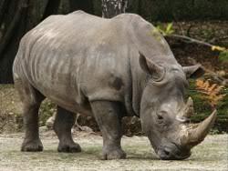 Rinoceronte en Malasia busca novia Rinoceronte
