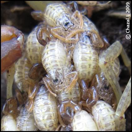 Centruroides barbudensis Cbarbudensisstade0-2