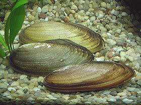 Unio pictorum / Mejillón de agua dulce Uniopictorum