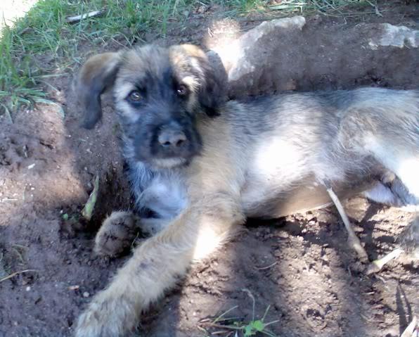 Panchito, cachorrete simpatico y salao (Talavera) Imagen375