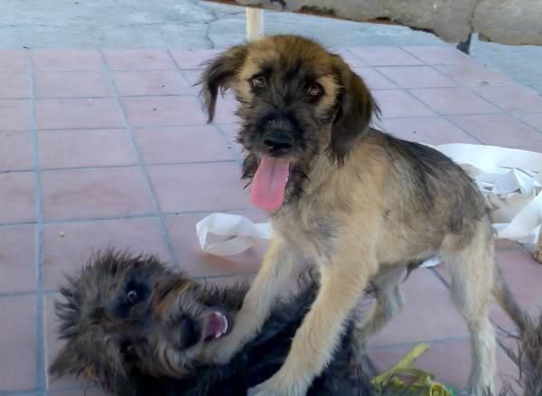 Panchito, cachorrete simpatico y salao (Talavera) Imagen390