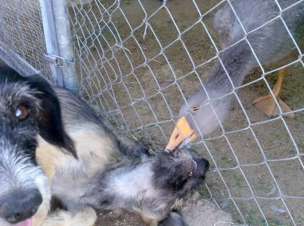 Panchito, cachorrete simpatico y salao (Talavera) Imagen421-1