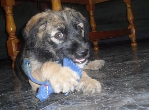Panchito, cachorrete simpatico y salao (Talavera) Pn1