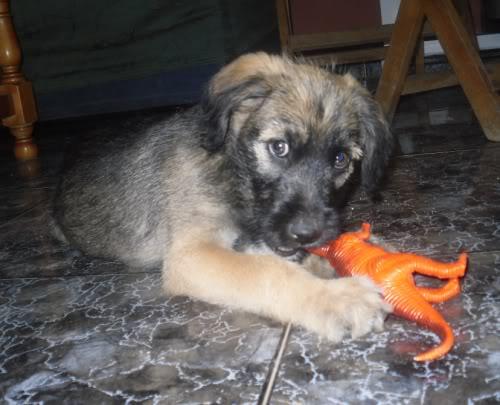 Panchito, cachorrete simpatico y salao (Talavera) Pn4
