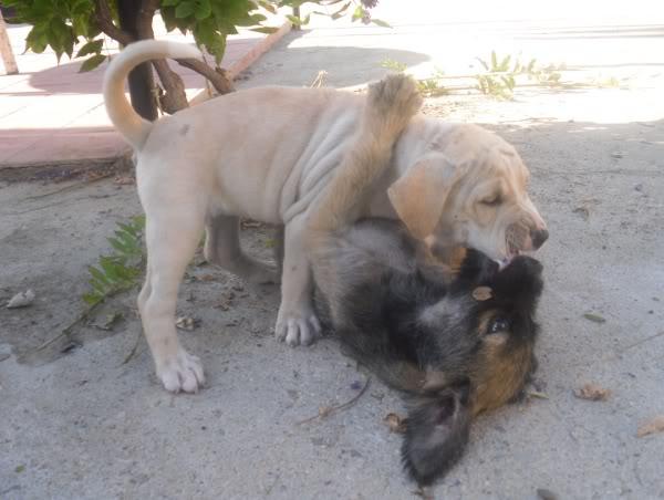 Panchito, cachorrete simpatico y salao (Talavera) Q1
