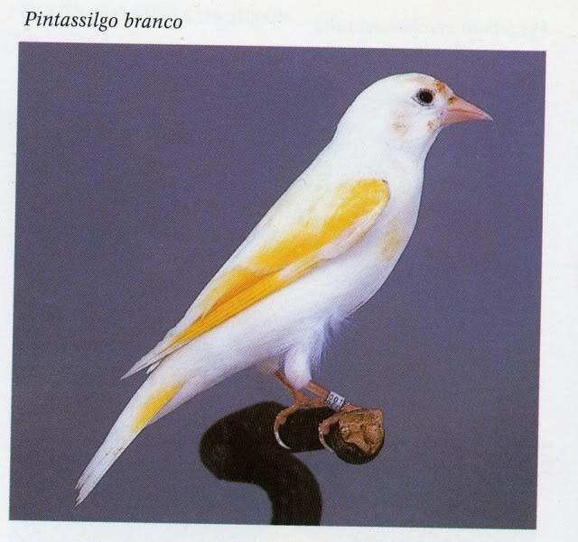 Pintassilgos -  Mutações e Raridades Pintassilgobranco