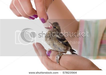 Viva el Silvestrismo honesto  Stock-photo-feeding-of-a-baby-bird-chaffinch-from-hands-57823564