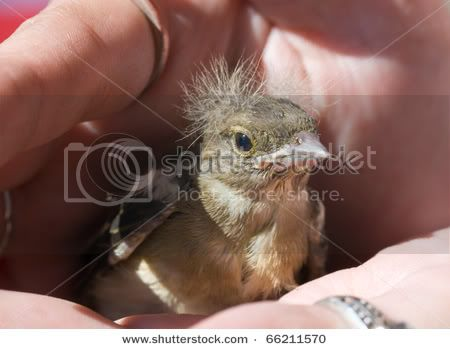 Viva el Silvestrismo honesto  Stock-photo-young-baby-bird-of-the-chaffinch-on-a-palm-66211570
