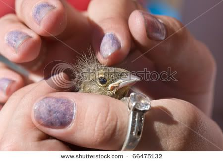Viva el Silvestrismo honesto  Stock-photo-young-baby-bird-of-the-chaffinch-on-a-palm-66475132