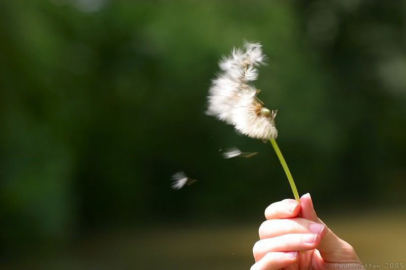 [Fiction] Cơn gió lạ... Dandelion_blowing_in_wind_1