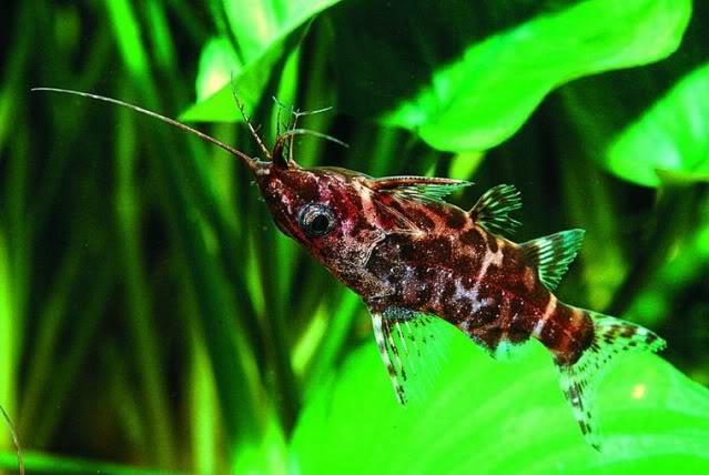Synodontis nigriventris - by fishmar - 0103-1