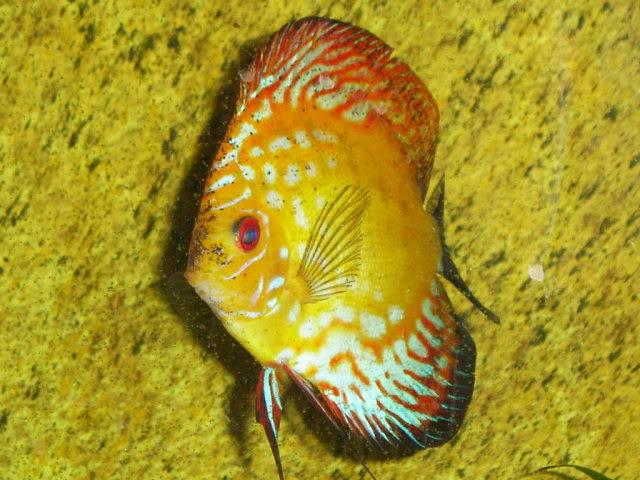 Symphysodon aequifasciatus(Pez Disco) - by felinete - 27e89c91