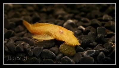 Ancistrus sp. Long Fin Albino - by Kasia- 36f40df4