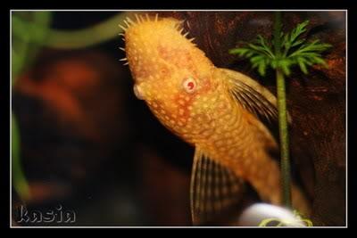 Ancistrus sp. Long Fin Albino - by Kasia- 627aebeb