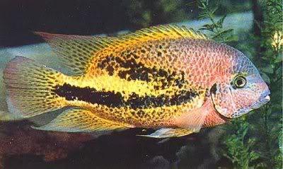 Cichlasoma bifasciatum -by fishmar- CICHLASOMA_BIFASCIATUM