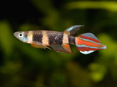 Pseudepiplatys annulatus - by Betta Killi - Pseud_annulatus