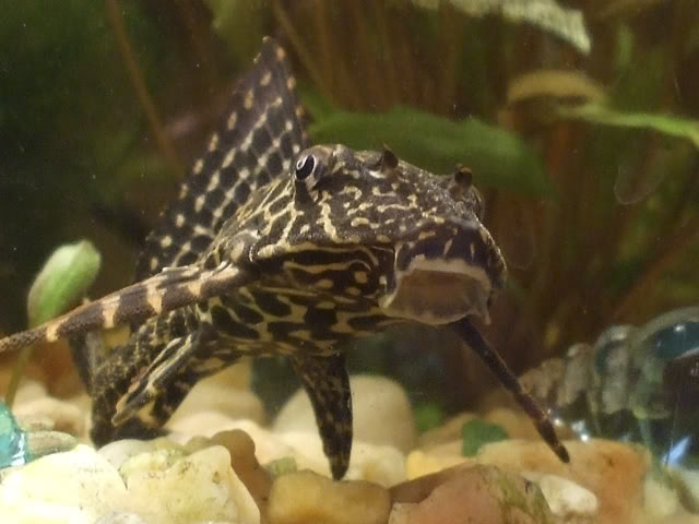 Pterygoplichthys sp  --- by draugdur -- Ca9eee8d
