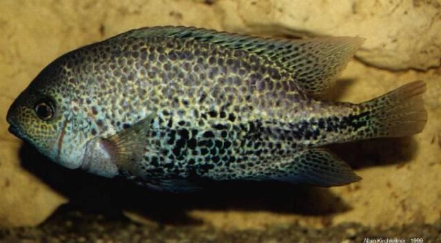 Cichlasoma zonatum - by fishmar- Zonatus-1