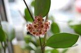 Hoya davidcummingii Th_DSC_0034