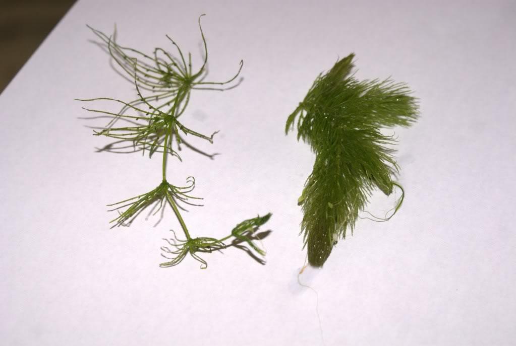 Almejas y un Hornwort boricua DSC06986