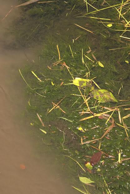 Almejas y un Hornwort boricua Plantaacuatica2
