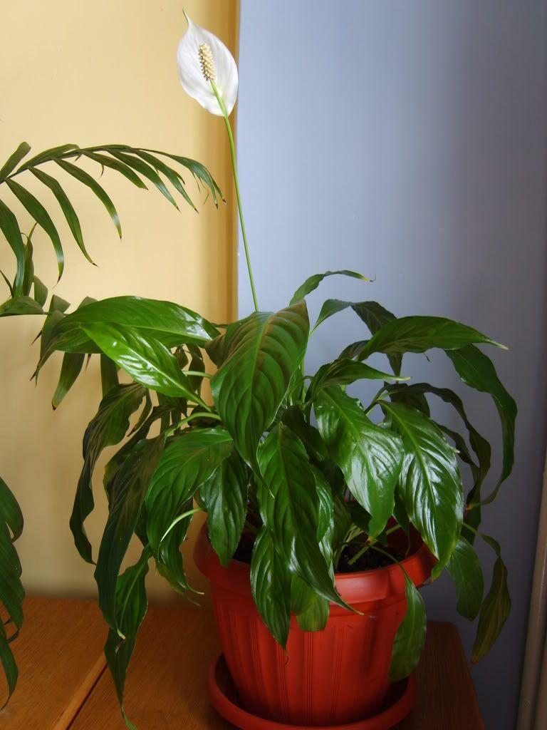 Crinul pacii sau spathiphyllum Crinulpacii