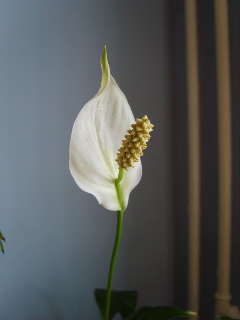 Crinul pacii sau spathiphyllum Crinulpaciiinflorit