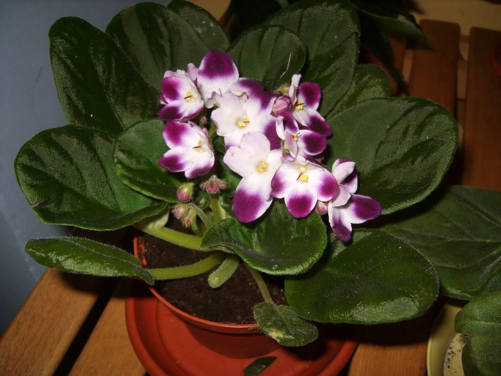 poze cu plantele mele de ghiveci ! - Pagina 16 Silverglade