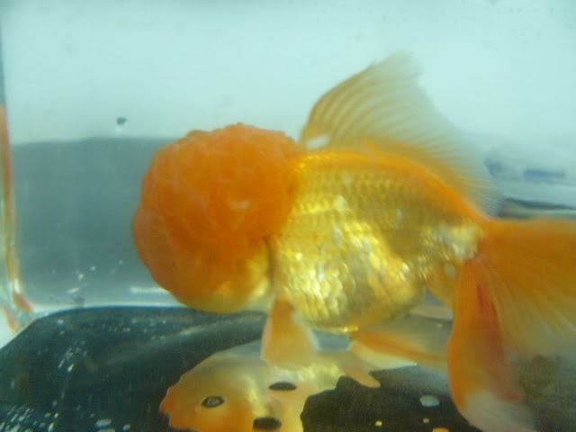 vos poissons présente une tumeur/grosseur (urgent) P1000731