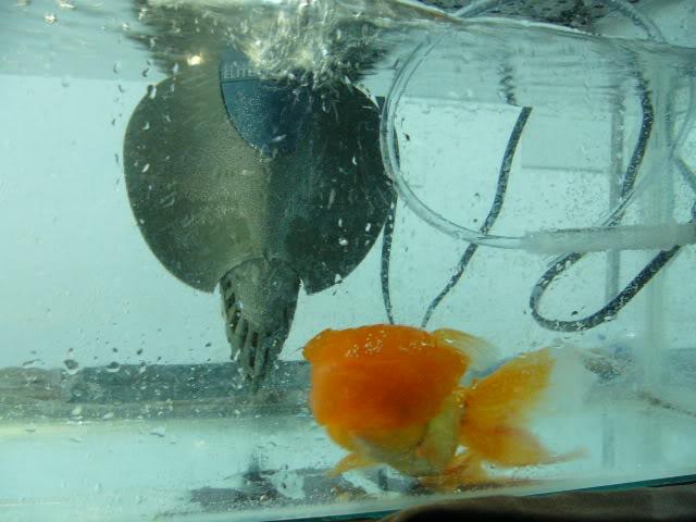 vos poissons présente une tumeur/grosseur (urgent) P1000741