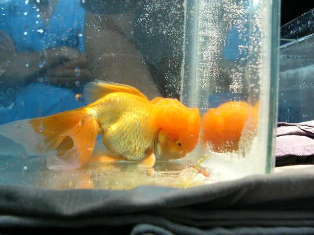 vos poissons présente une tumeur/grosseur (urgent) P1000747