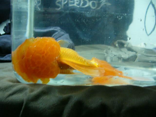 vos poissons présente une tumeur/grosseur (urgent) P1000778