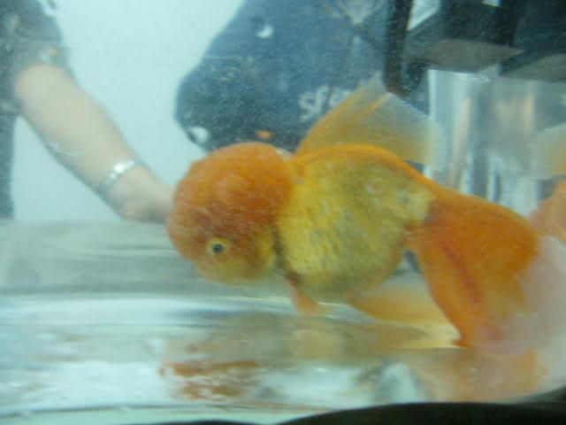 vos poissons présente une tumeur/grosseur (urgent) P1000780
