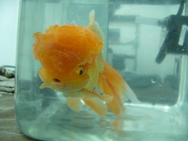 vos poissons présente une tumeur/grosseur (urgent) P1000781