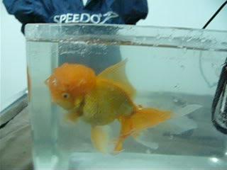 vos poissons présente une tumeur/grosseur (urgent) P1000782