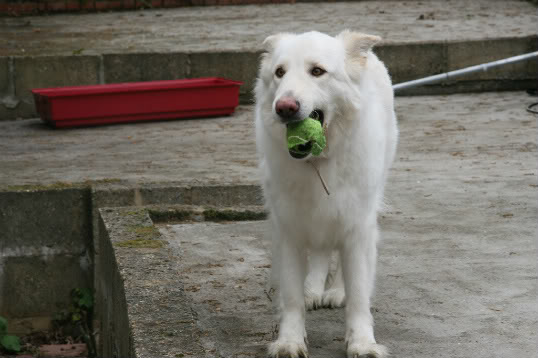 Maddison is a lovely 4 year old GSD homed Maddison2-1