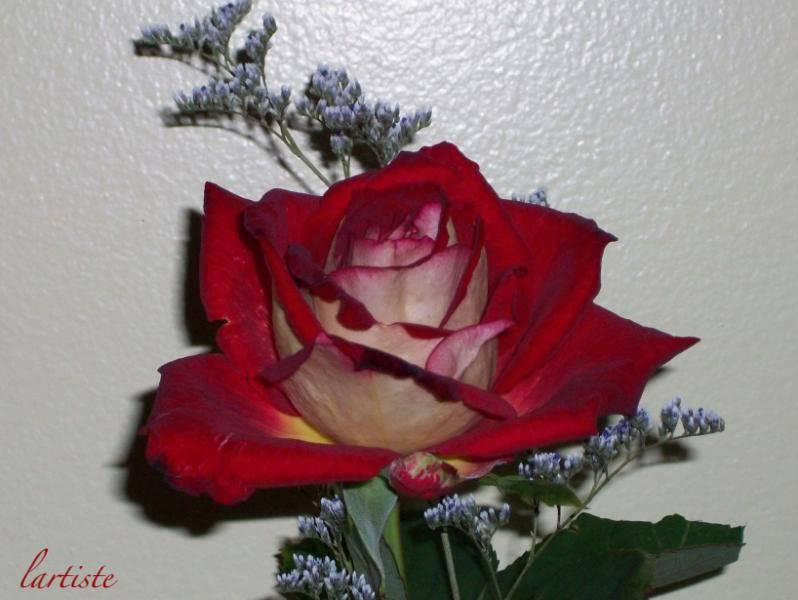 La Rose de Cédrika. Test6019-4