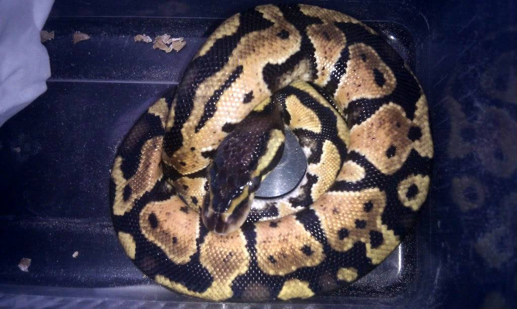 The Python side of my Reptiles... and a Boa :P IMAG1489