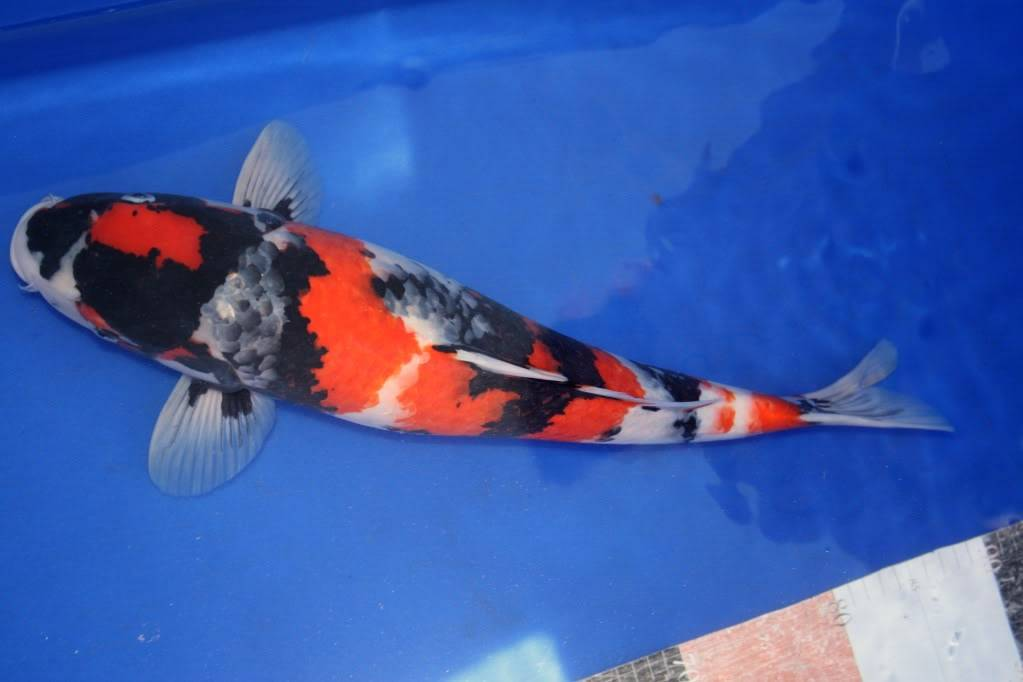Koi for sale on this forum only for a limited time. IMG_9557