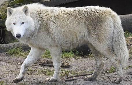 The Tundra Wolf Tundra20wolf
