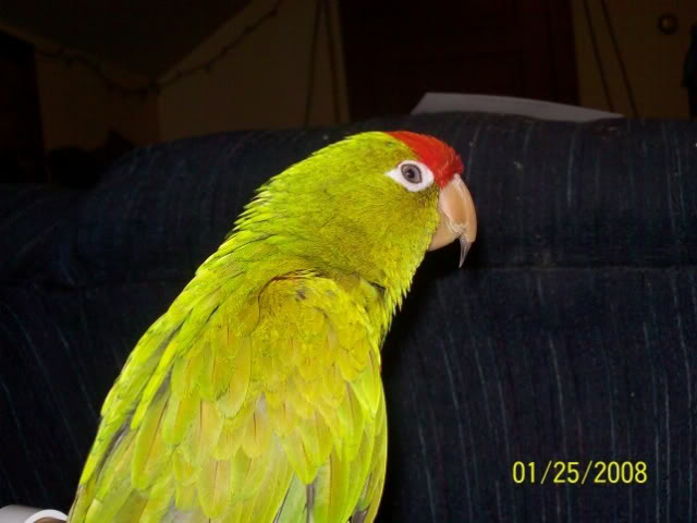 The Waglers...AKA Red-Fronted Conure 100_1356