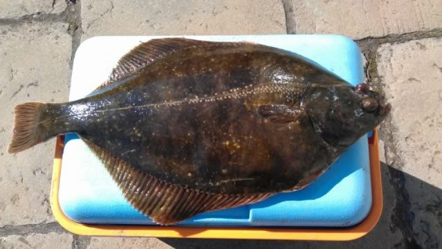 Fat flounder 239