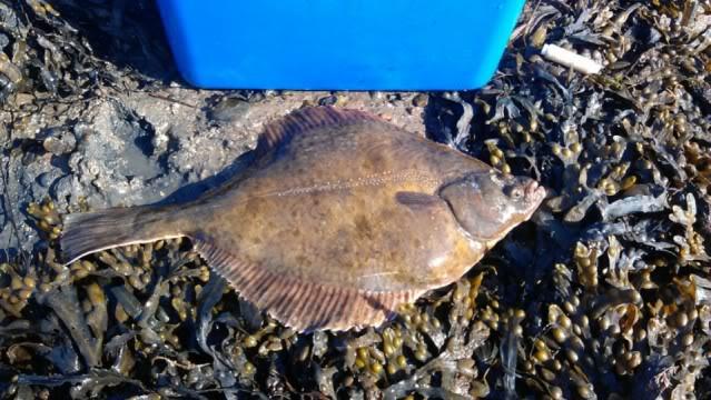 Fat flounder 241