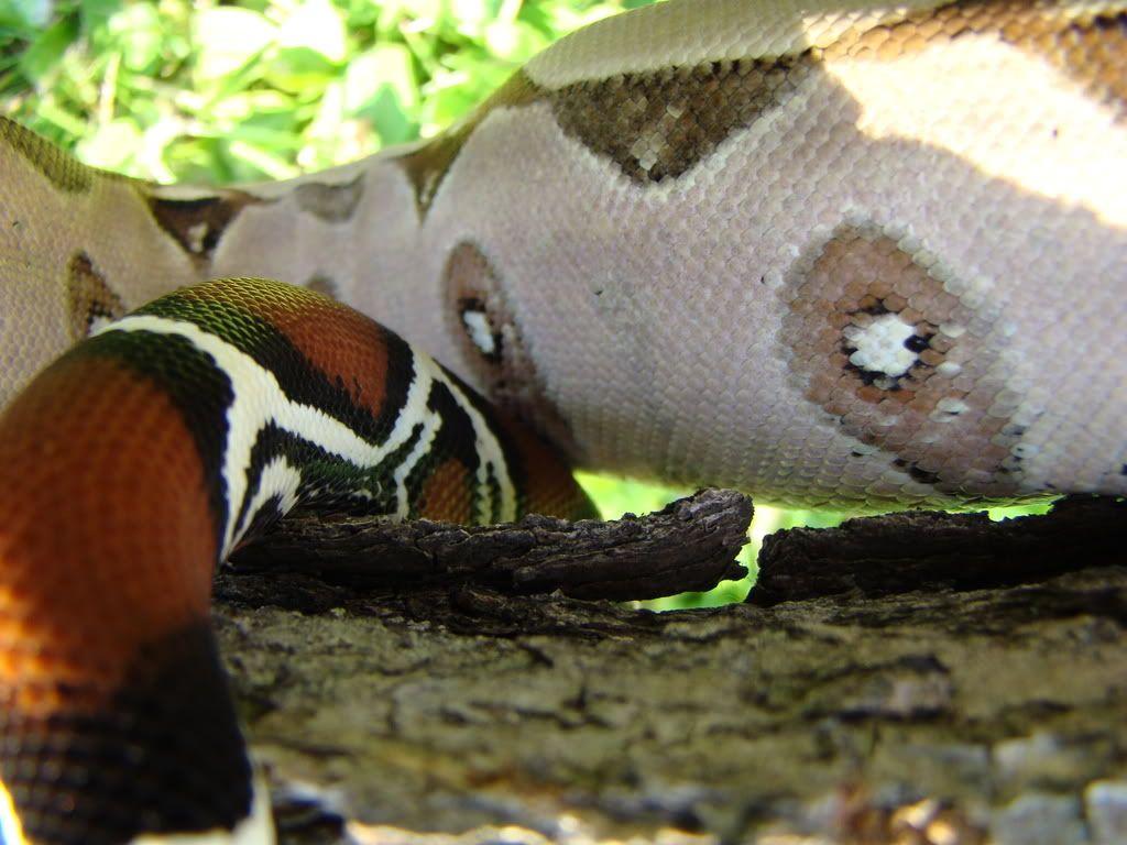Pokigron Suriname 010-7