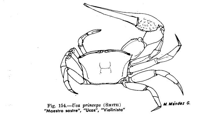 por que el cangrejo violinista no es reconosido un animal peruano 154-2-2