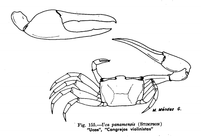 por que el cangrejo violinista no es reconosido un animal peruano 155-2