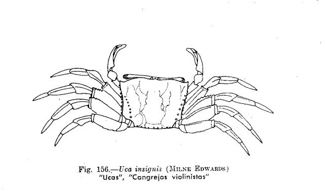 por que el cangrejo violinista no es reconosido un animal peruano 156-2